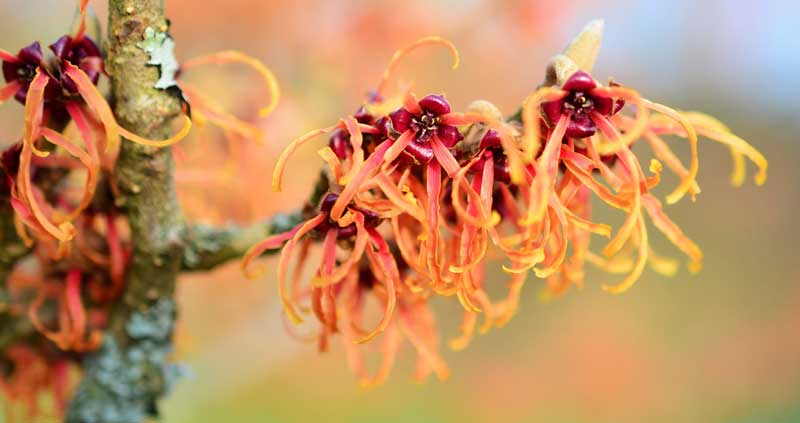 witch-hazel-plant